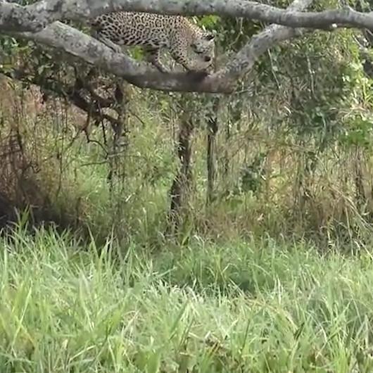 Saniyeler içerinde göle atlayıp boyundan büyük timsahı avlayan jaguar