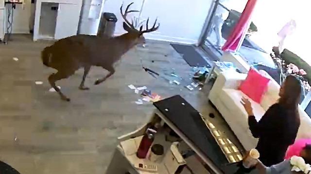 Kuaföre camdan girip saç maşasıyla çıkan geyik