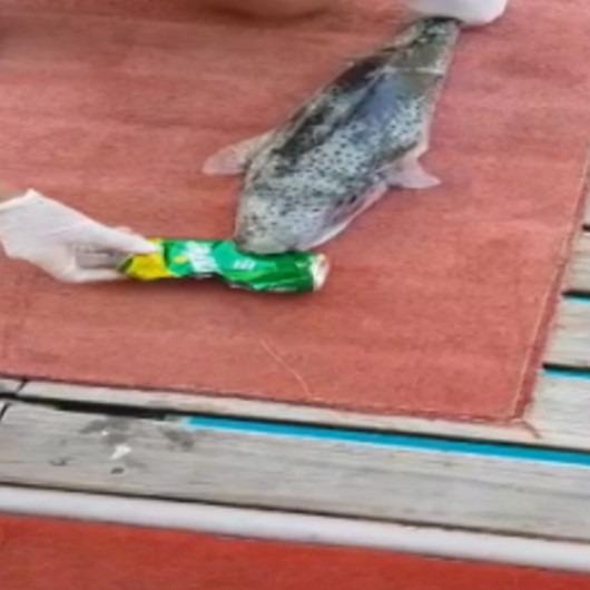 Teneke içecek kutusunu yiyen balon balığı amatör balıkçıları şaşırttı