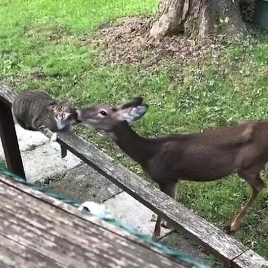 Yavru geyik ile kedi arasında kıskanılası sevgi